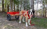 巨型呆萌大狗狗,號稱口水大王,聖伯納犬