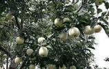 天水富士蘋果成熟啦,大美天水!