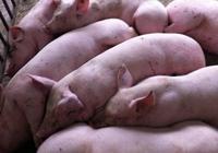 解析豬瘟症狀