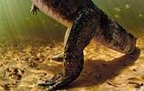 影像記錄:巴西境內的巴拉圭凱門鱷
