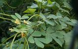 豆科植物決明,常飲可清肝明目,血壓穩定