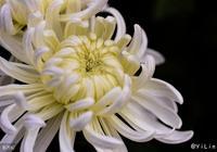 清淡如菊,我們來看看這個中國歷史上的名花,在家庭中如何種植吧