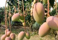 貴妃芒果與芒果的區別