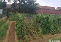 農村人自家種的糧食和蔬菜,就是綠色安全無汙染的嗎?你怎麼看?