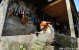 """雲南村莊奇觀,豬用繩子捆著養,遊客調侃這""""二師兄""""太不易了"""