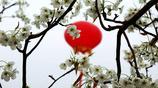 山西隰縣:梨花節即將啟幕——春風玉露又相逢  梨海觀濤翻雪浪