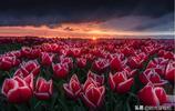 荷蘭最美的季節 五月的鬱金香花海