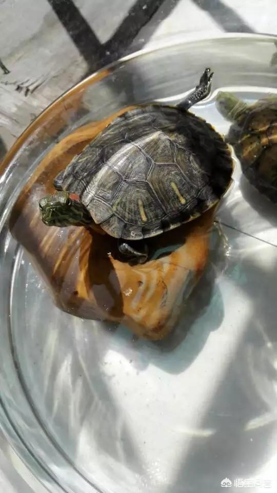 巴西龜和草龜可以混養嗎?