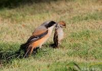 伯勞-養鳥達人分享的老野伯勞的訓化方式,你們說靠譜嗎
