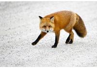 林中火狐(童話)