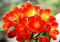 君子蘭盆栽,只長葉子不開花,花卉老闆讓我這樣處理