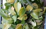 種的綠蘿老是爛根葉子發黃?高手教你這3招,綠蘿打雞血一樣瘋長