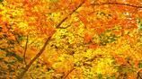 圖蟲風光攝影:楓葉?知秋