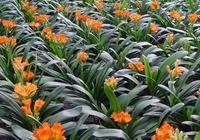 君子蘭的水培方法 君子蘭的生長習性