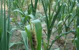 專題·種玉米講蟲害——蚜蟲