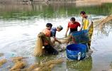 又到了秋收季節,全家老少集體出動,這個地方的農村靠養魚致富