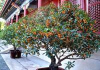 """家裡養上""""3種樹"""",玉樹銀花、花開富貴,變成""""老樁""""值錢的"""