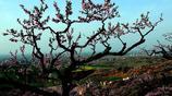 駐馬店胡廟龍泉村萬畝桃園盛開,成為周邊縣市踏青遊春賞花好去處