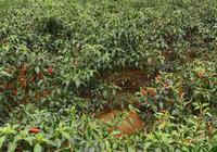 今年朝天椒行情讓農民都絕望了