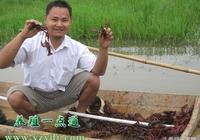 小龍蝦低窪稻田生態養殖技術,套養經濟效益高