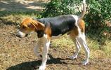 寵物圖集:樹叢浣熊獵犬
