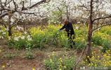 山西農村遭遇霜凍68歲老人梨園卻安然無恙,他用了3個辦法
