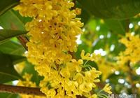 桂花有哪些品種?哪個品種的桂花最香,要如何種植?