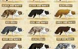 世界犬種-邊境牧羊犬
