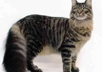 """緬因貓體型巨大,讓我們一起感受她們的""""鐵漢柔情""""吧"""