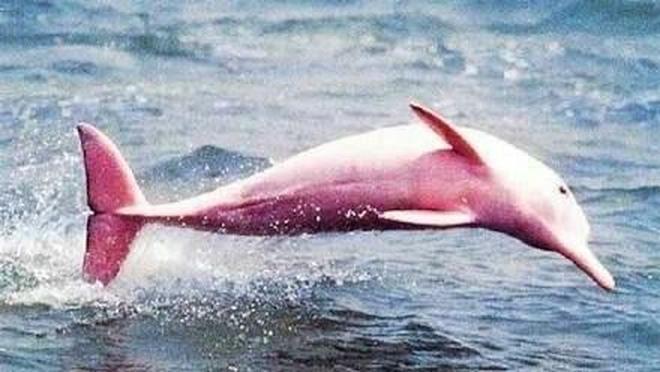 動物圖集:粉色的海豚