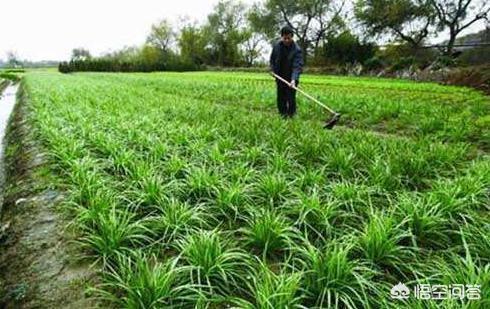 農村自己家種植的韭菜,為什麼有時會越長越細?應該怎麼來處理?