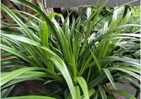 """這種""""東西""""加土裡,蘭花葉肥綠、長得旺,白根猛竄,花芽蹭蹭長"""