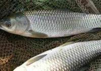 夏季釣草魚心得和草魚神餌爆光