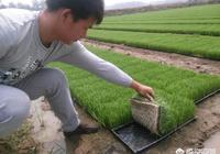 怎樣知道是水稻原種還是水稻良種?