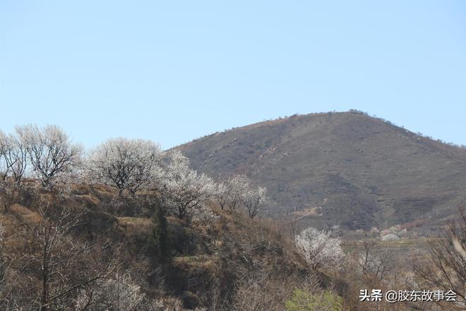 組圖:煙臺萊陽有個汪家夼村,也是欣賞杏花的好地方
