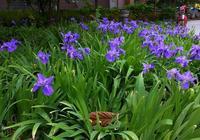 法國國花 鳶尾——常見的美麗花朵