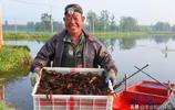 又到龍蝦收貨時,稻蝦共生收益高,米香蝦肥畝收萬元