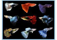 淺談孔雀魚的飼養和繁殖