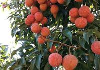 在農業生產中,很多專家建議在葉面肥中加入紅糖,紅糖到底有什麼作用?