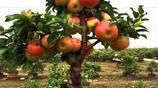 盆栽水果,這下我們有口福嘍