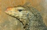 動物圖集:高清蜥蜴