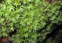 家居水景丨生態雨林缸造景植物篇—苔蘚植物