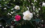 「攝影」綻放在深秋的花朵——木芙蓉