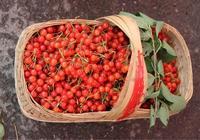 春風十里不如吃你,四明山的櫻桃紅透啦!