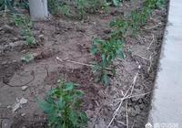 從農村裡弄了點辣椒苗,如果把它種在陽臺當盆景,有哪些需要特別注意的嗎?