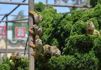 """""""五一"""",來石家莊動物園看狐猴寶寶、山魈""""小公主"""""""