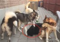 """網友養了只""""烈性犬"""",結果卻被4只二哈帶偏,還能看家嗎?"""