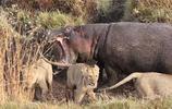 獅子獵殺河馬在河邊享受