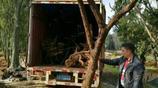 成卡車的百年老山香樹被挖掉嫁接月季,單株被炒到一萬多