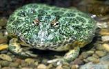 青蛙也有毒,盤點12種從沒有見過的青蛙